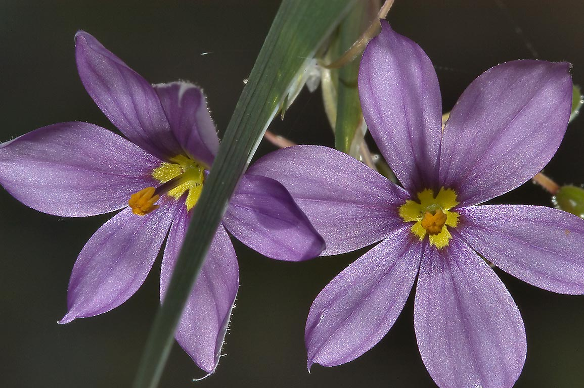 Flowers of Blue eyed grass (Sisyrinchium...National Forest. Richards, Texas