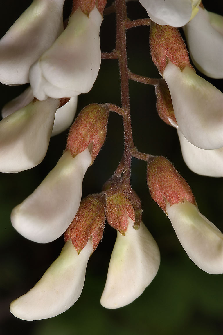 Drooping of white pea-flowers of Black locust...M University. College Station, Texas