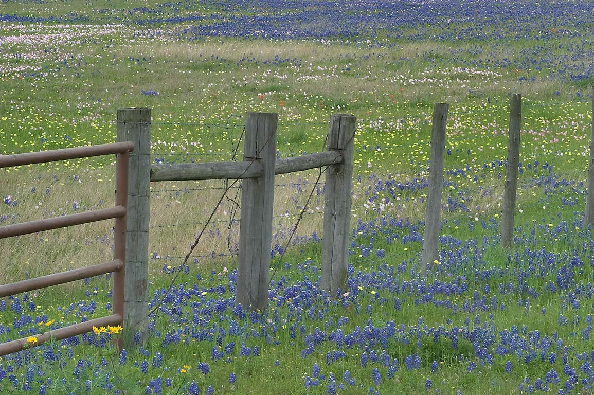 Wildflowers growing near a fence of a ranch at Rd...from Independence. Washington, Texas