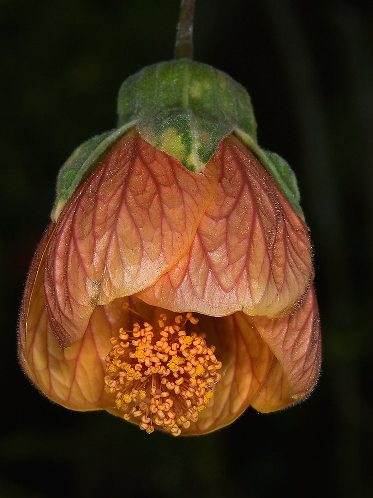 Orange abutilon flower in Antique Rose Emporium. Independence, Texas