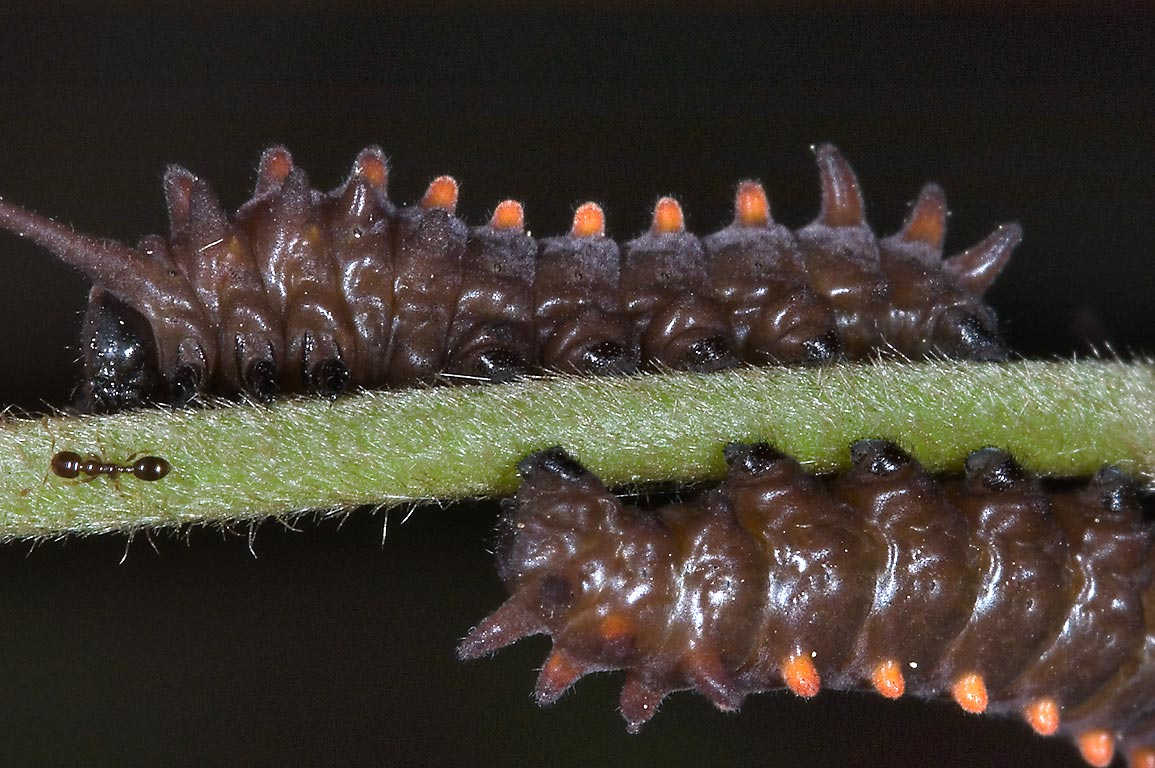 Brown caterpillars of Pipevine swallowtail...Park. Humble (Houston area), Texas