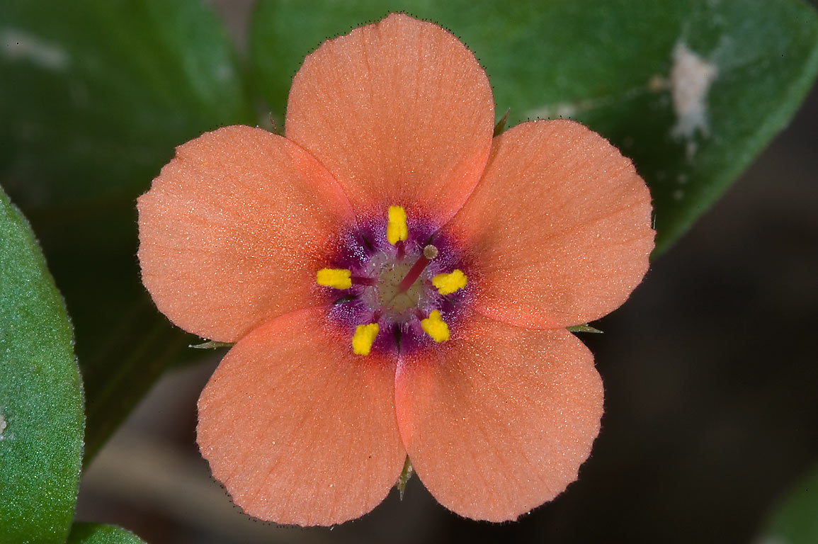 Scarlet pimpernel (Anagallis arvensis) in Mercer...Gardens. Humble (Houston area), Texas