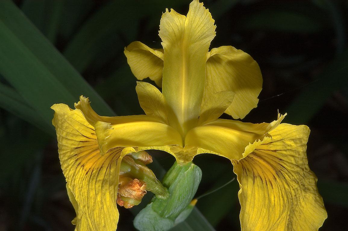 Yellow flag (Iris pseudacorus) in TAMU...M University. College Station, Texas