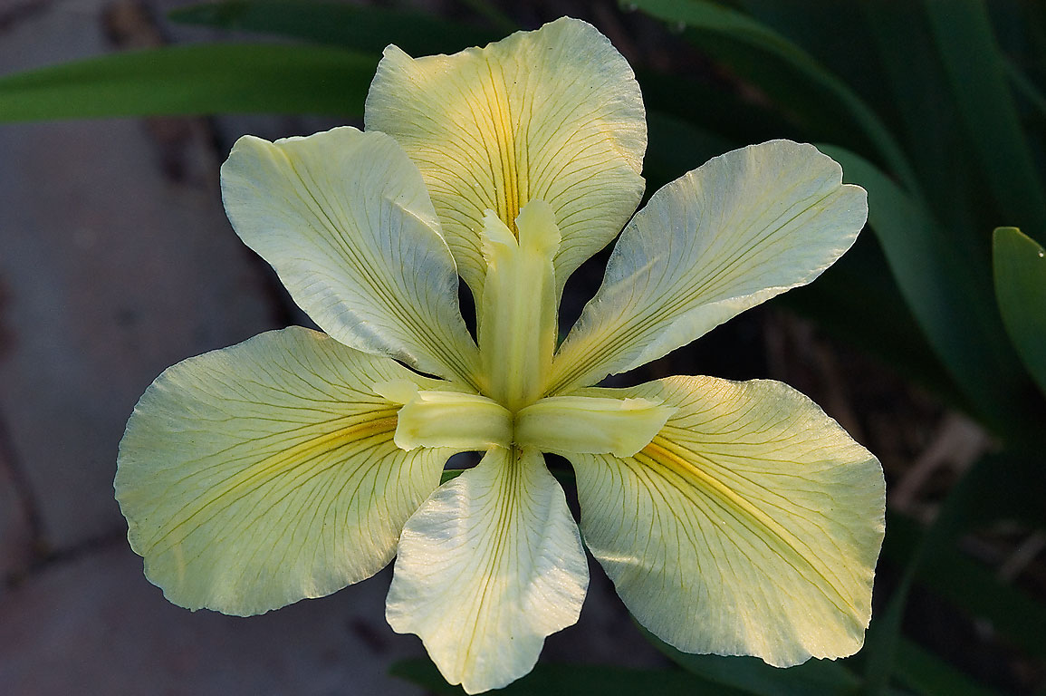 Pale yellow iris in TAMU Horticultural Gardens in...M University. College Station, Texas