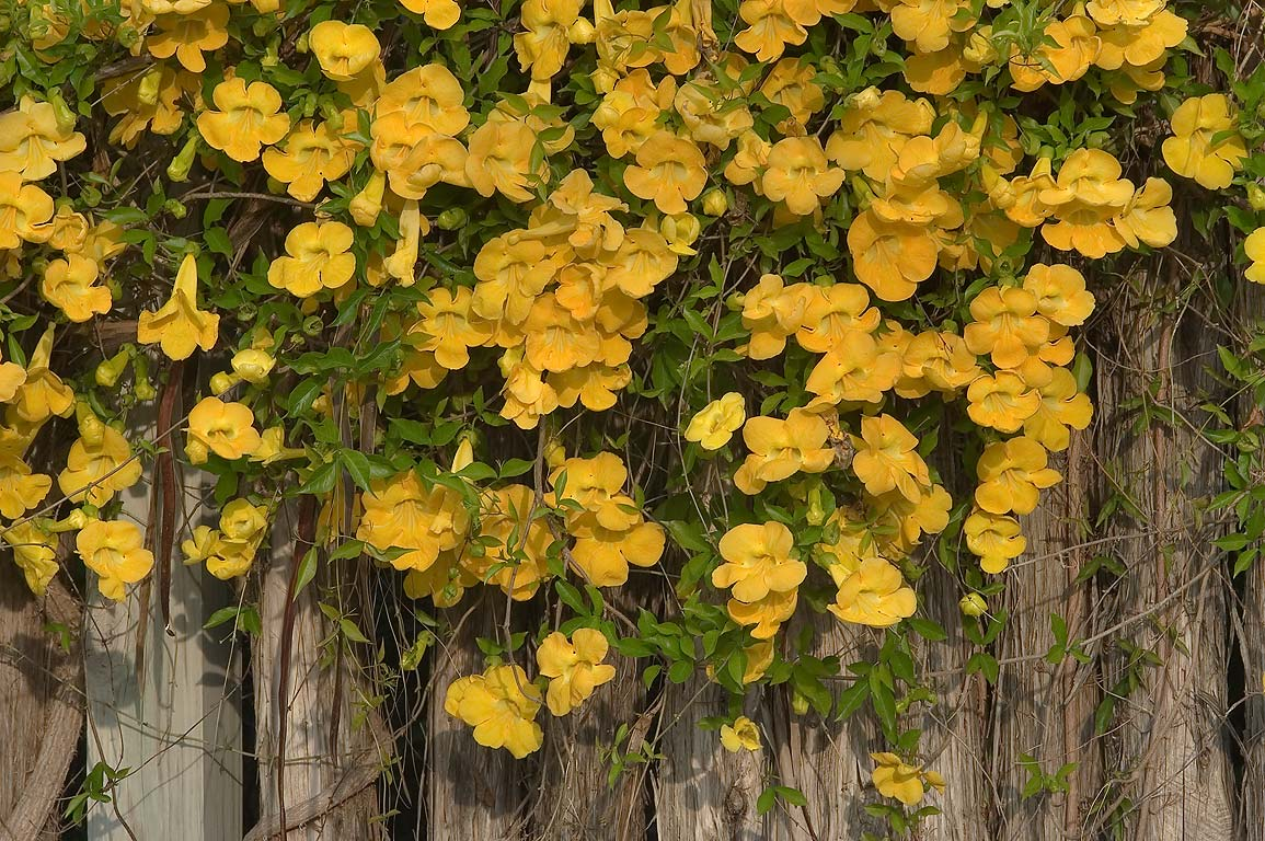 Trumpet flower (Tecoma stans) vine in TAMU...M University. College Station, Texas