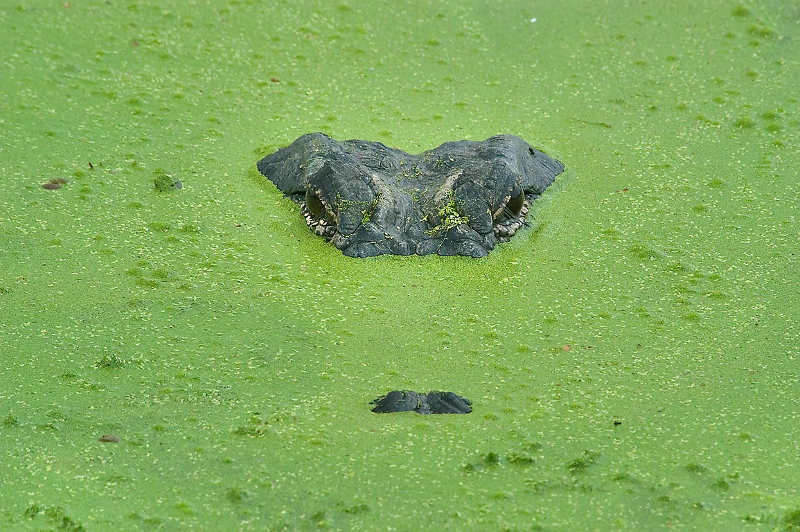 Alligator head floating in duckweed on west side...Bend State Park. Needville, Texas