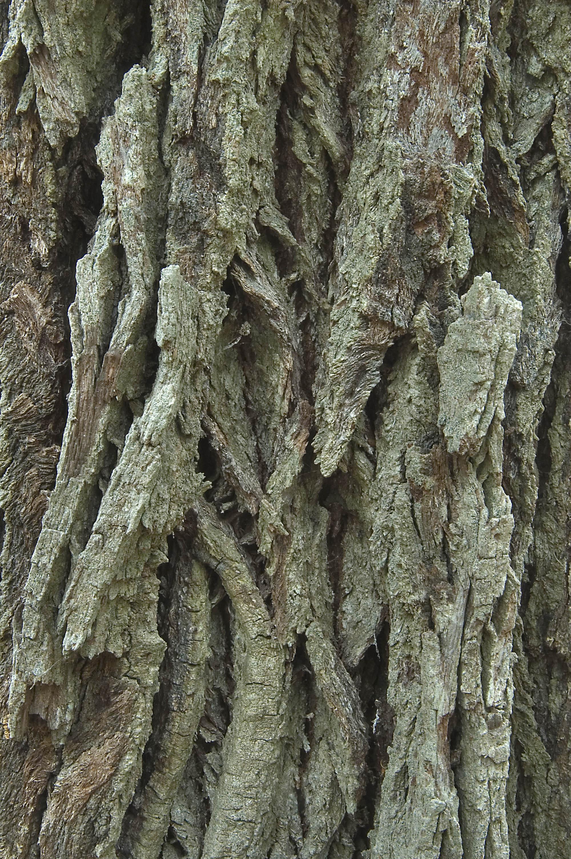 Photo 732 25 Bark Of An Oak Tree On Hoots Hollow Trail In