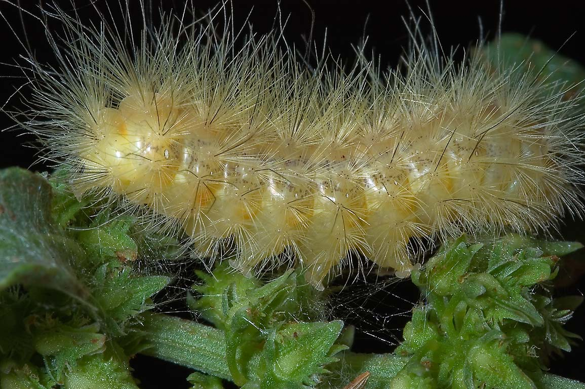 Yellow hairy caterpillar of salt marsh moth...Bend State Park. Needville, Texas