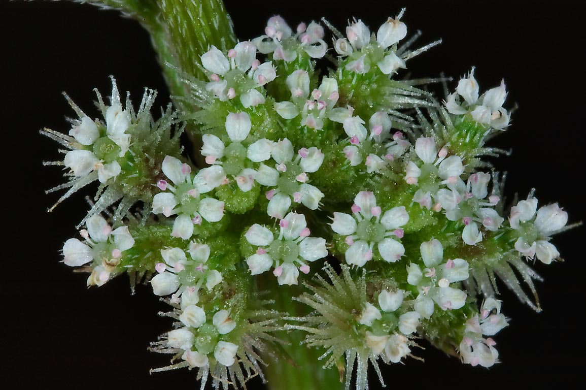 Tiny white flowers of knotted hedgeparsley...Bend State Park. Needville, Texas