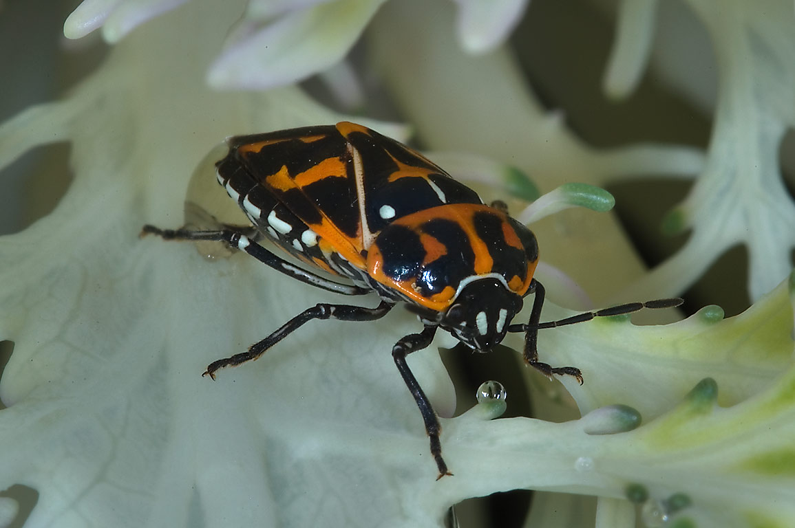 Harlequin bug (Murgantia histrionica) on...M University. College Station, Texas