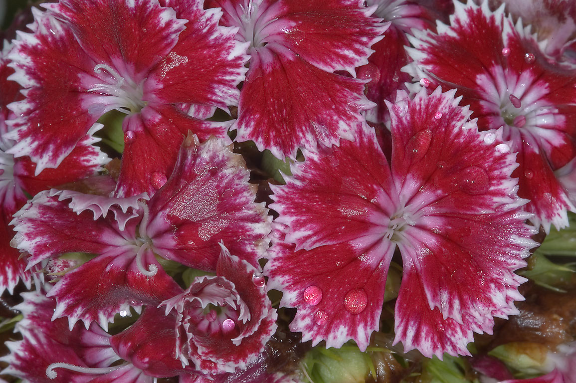 Dianthus flowers in TAMU Holistic Garden in Texas...M University. College Station, Texas