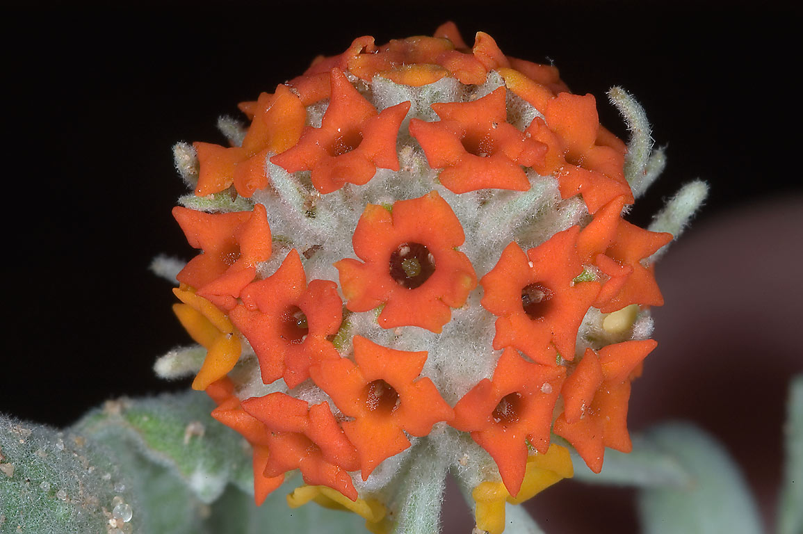 Orange globular flower of Wooly Butterfly Bush...M University. College Station, Texas