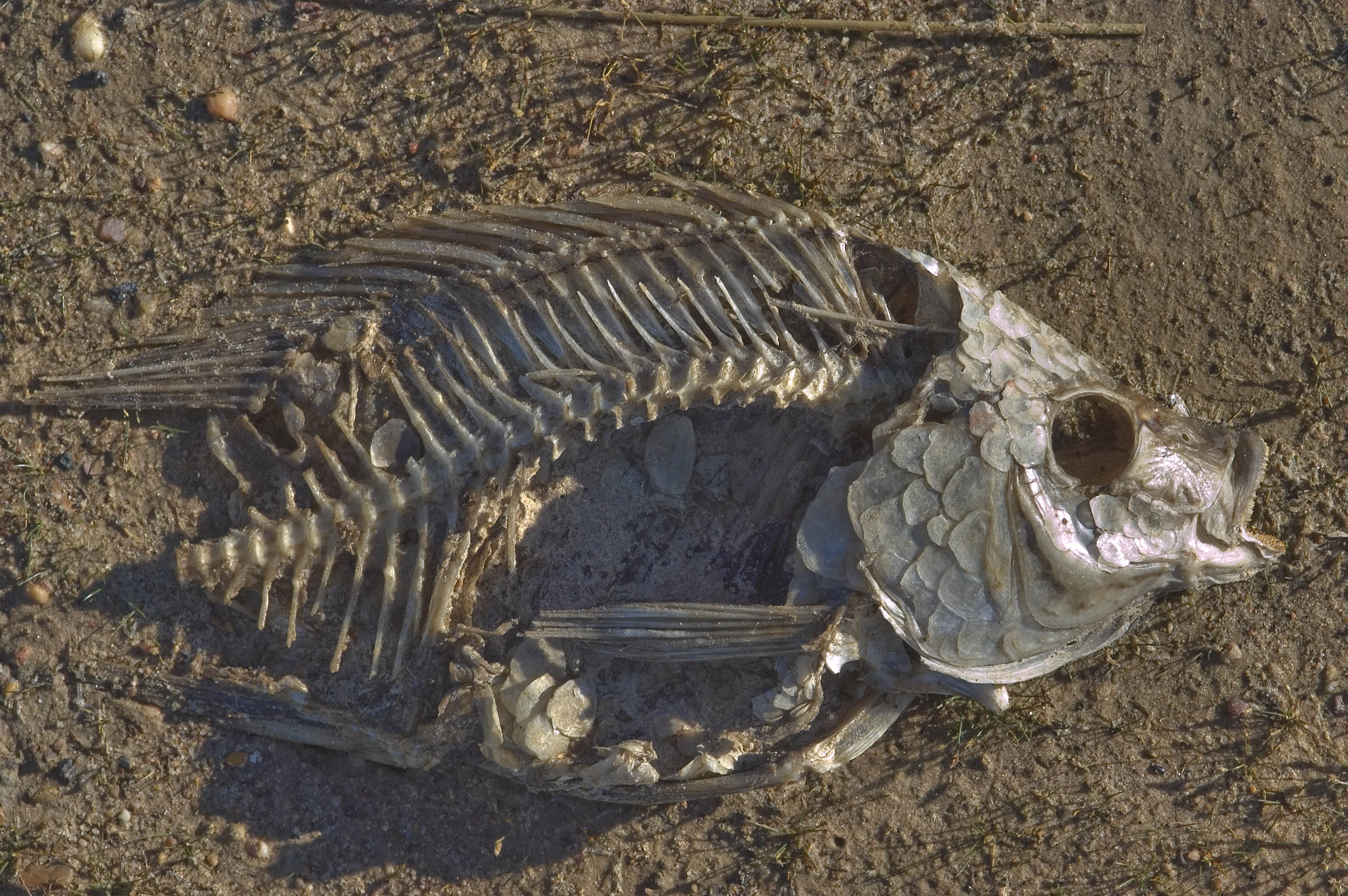 Photo 735 03 fish skeleton on a shore of lake bryan park for Lake bryan fishing
