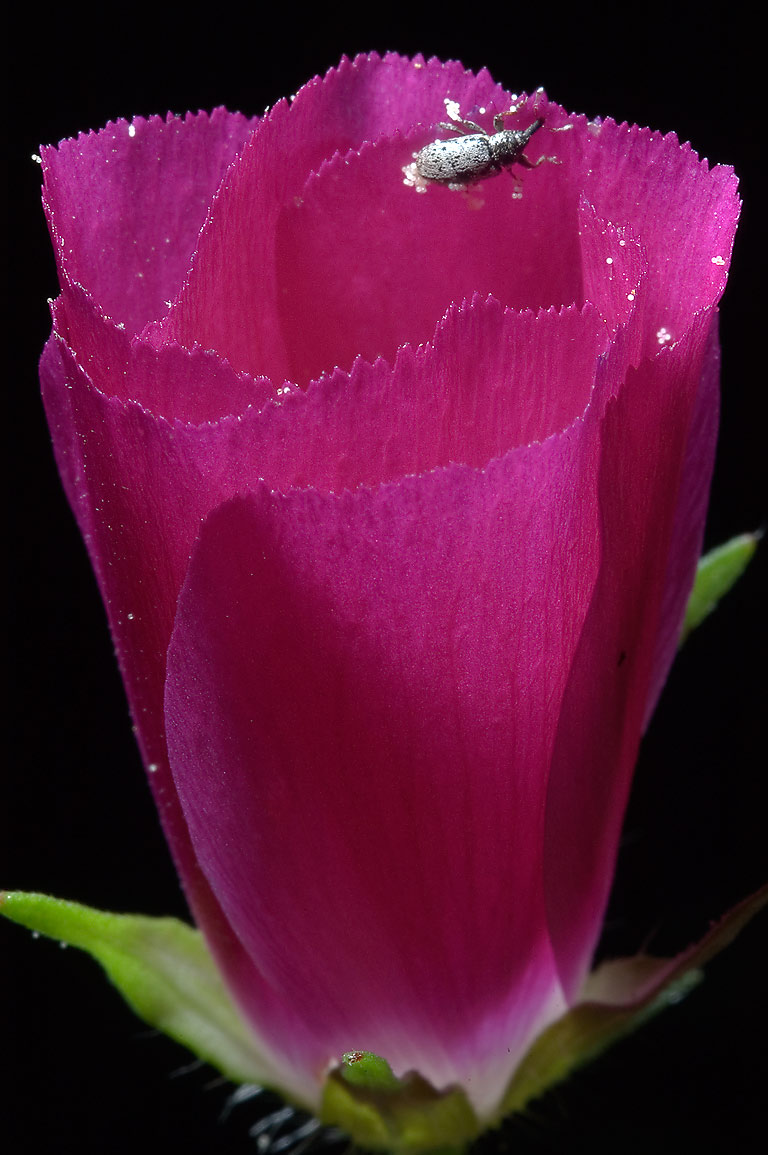 Winecup flower (Callirhoe) in Lick Creek Park. College Station, Texas