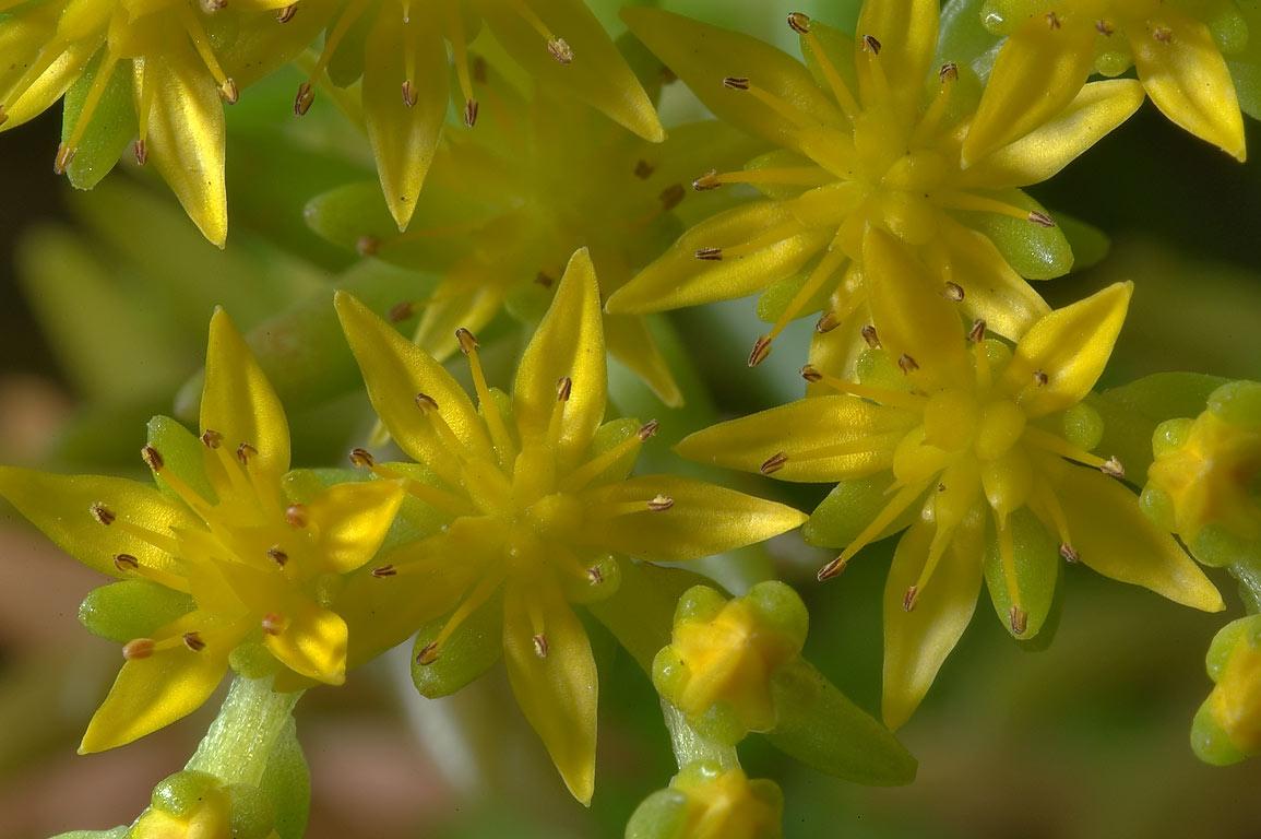 Slideshow 735 09 Yellow Flowers Of Stonecrop Sedum In Tamum