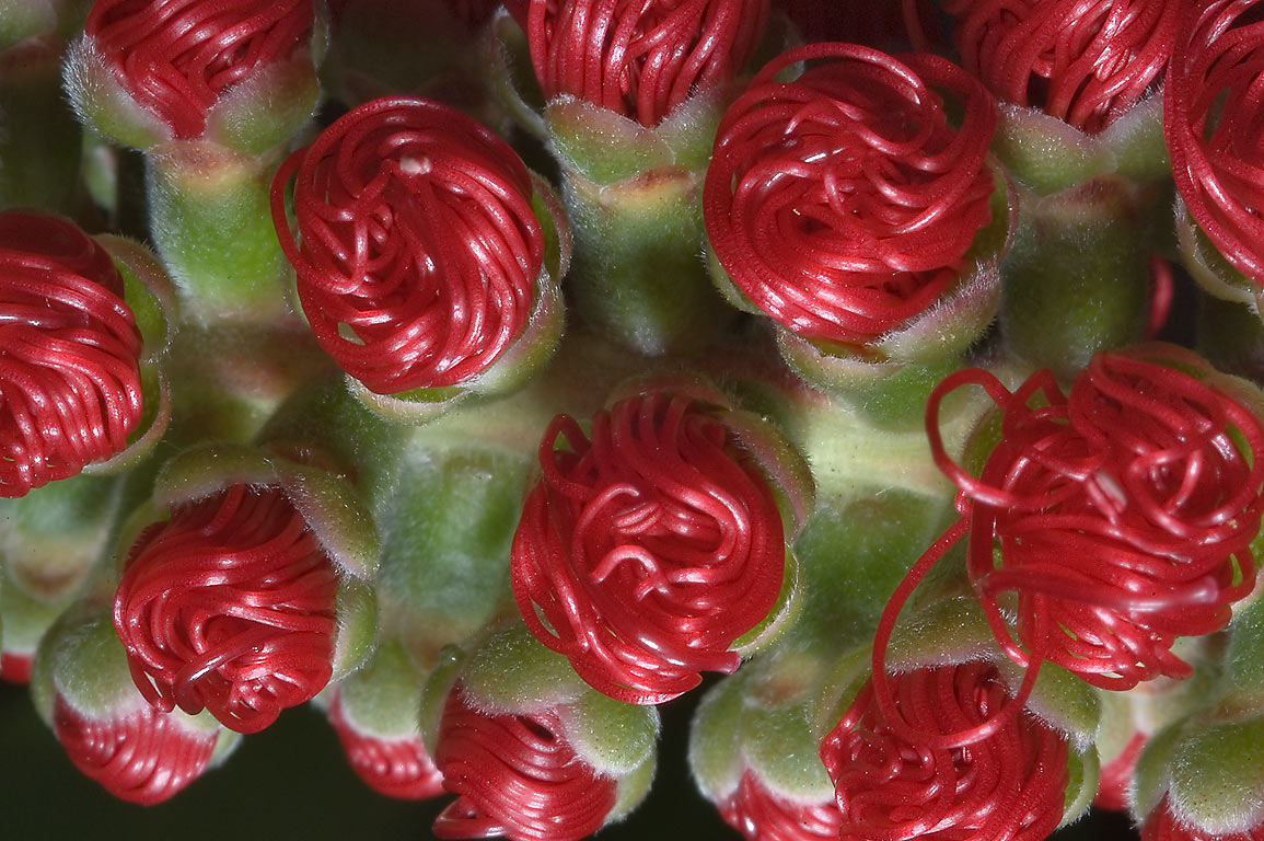 Flower buds of weeping bottlebrush (Callistemon...M University. College Station, Texas