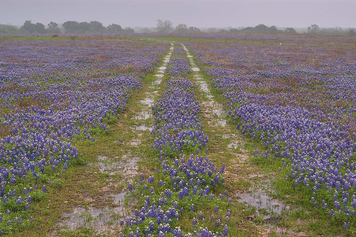Ranch road in bluebonnets at rain, view from Rd. 1155, south from Washington. Texas