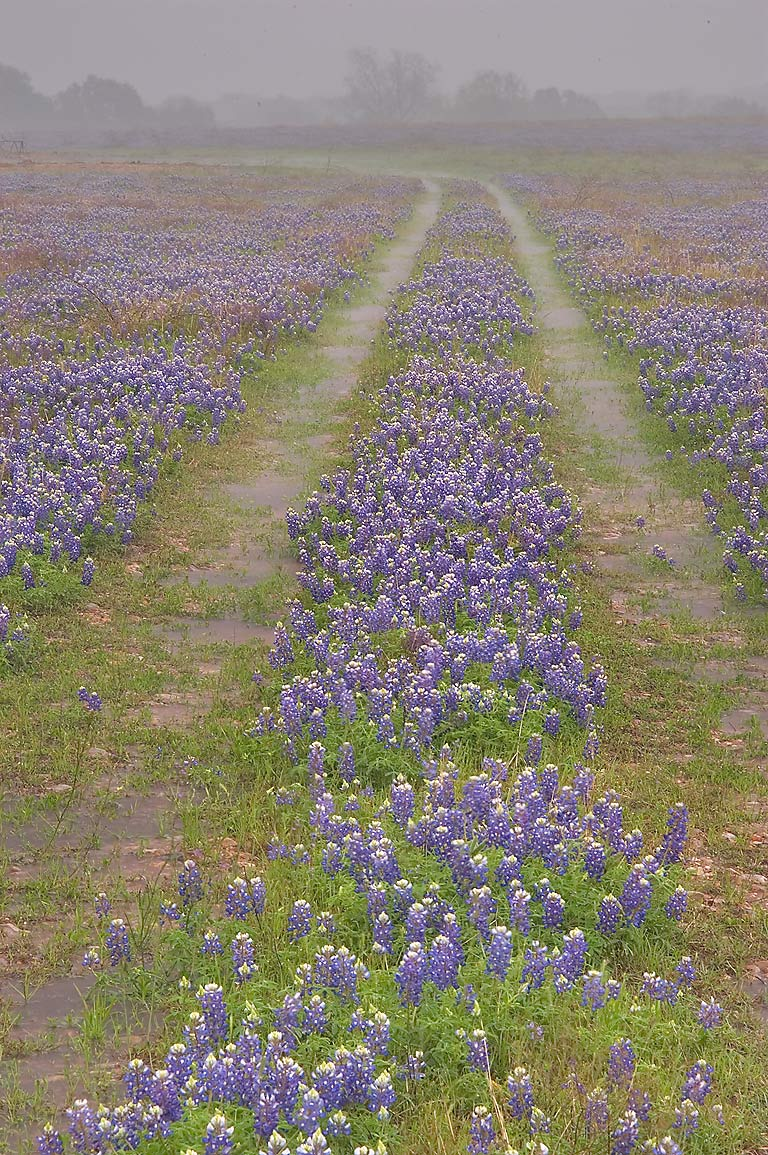 Ranch road with bluebonnet wildflowers at rain...Rd. 1155, south from Washington. Texas