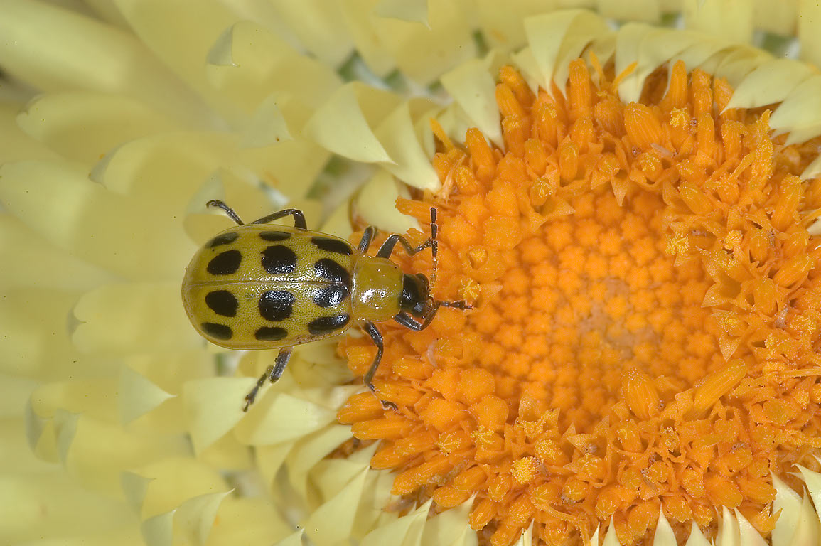 Spotted cucumber beetle (Diabrotica...M University. College Station, Texas