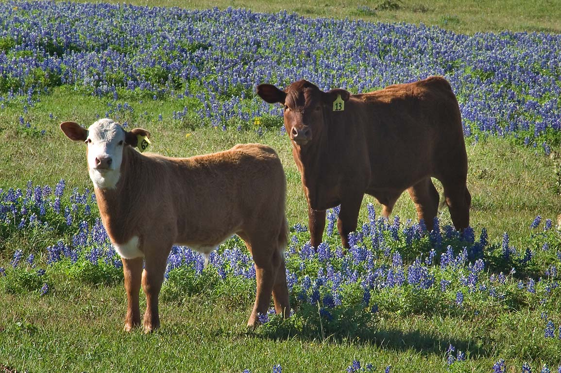 Cows in a field of bluebonnets near Rd. 390, near Independence. Texas