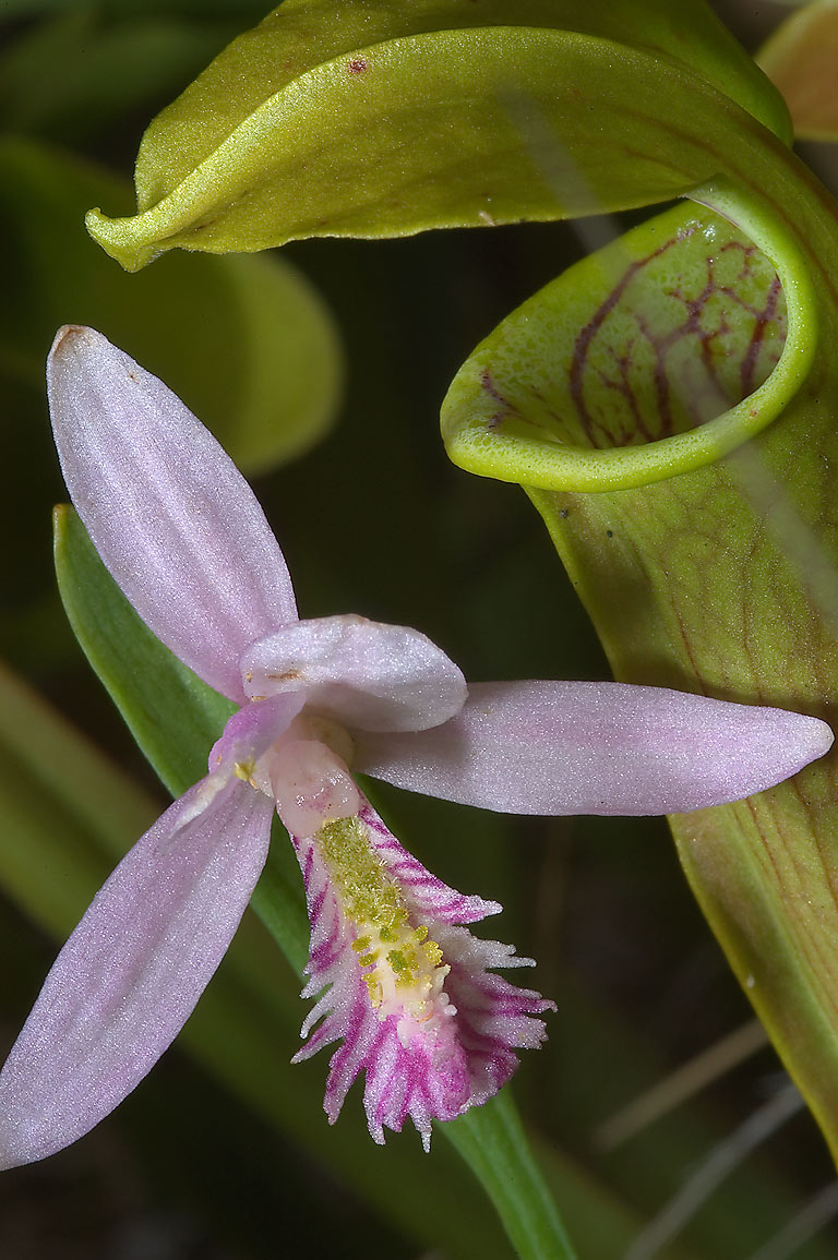 Rose pogonia orchid (Pogonia ophioglossoides...Thicket park on Sundew Trail. Texas