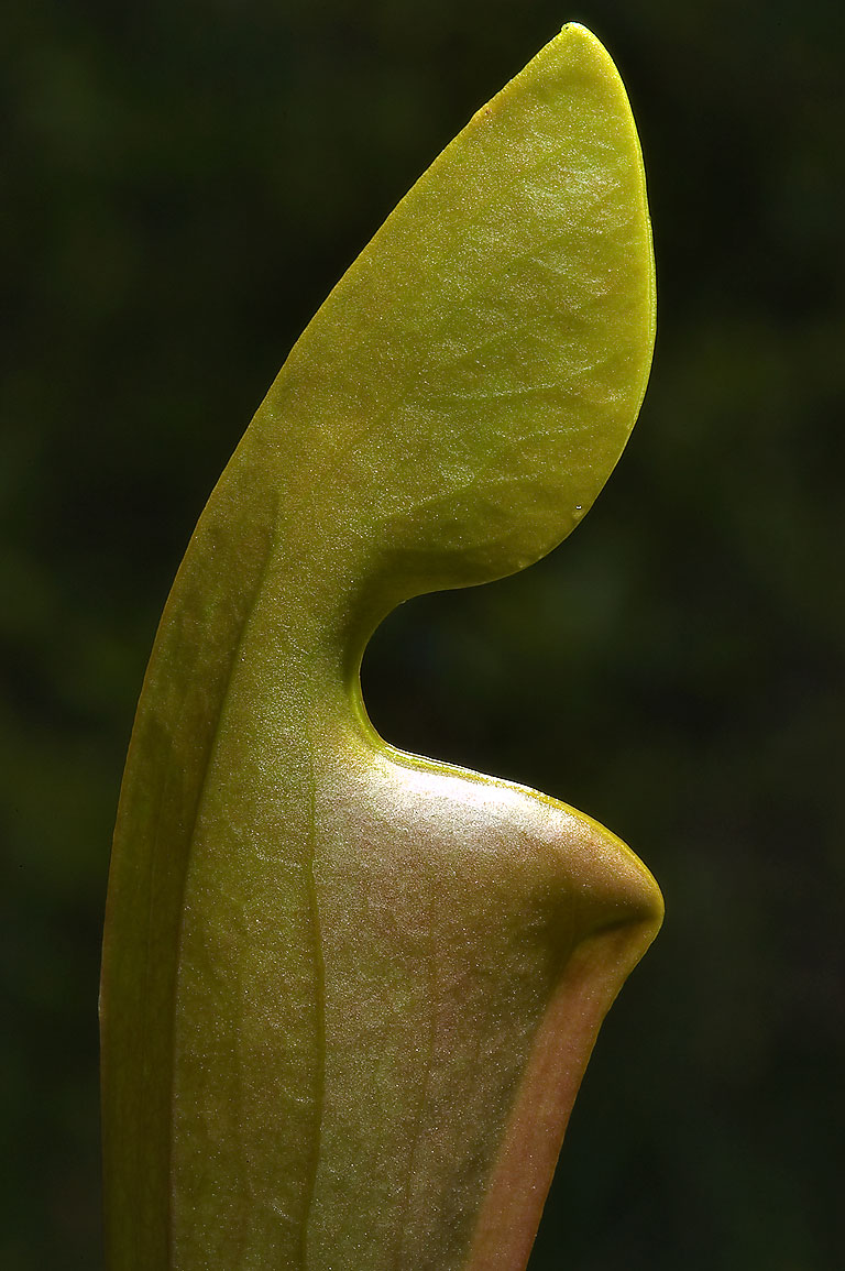 Unopened young leaf of yellow trumpet (pitcher...park, on Pitcher Plant Trail. Texas