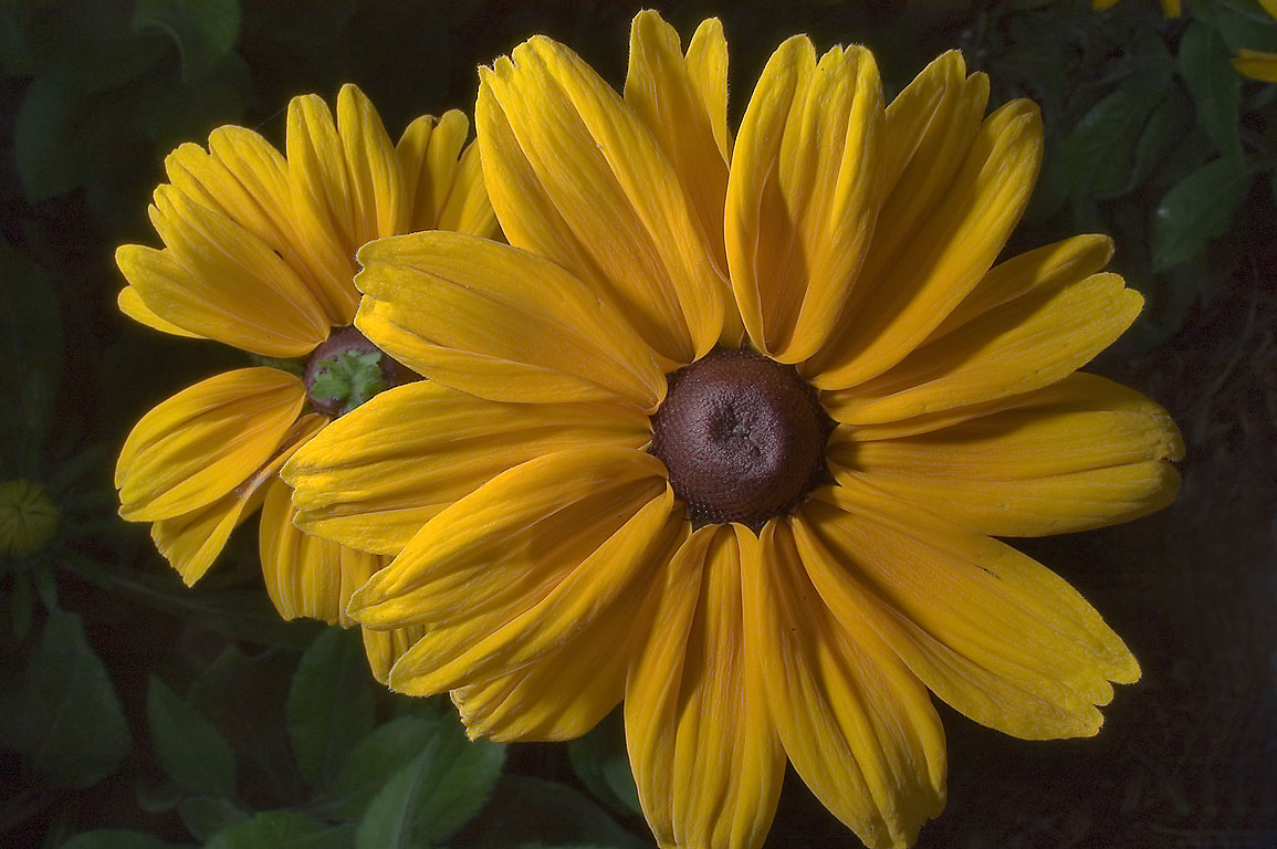 Big rudbeckia flowers in TAMU Holistic Garden in...M University. College Station, Texas
