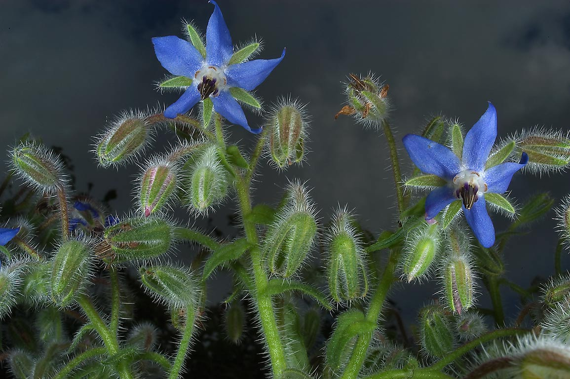 Borage (Borago officinalis, starflower) in TAMU...M University. College Station, Texas