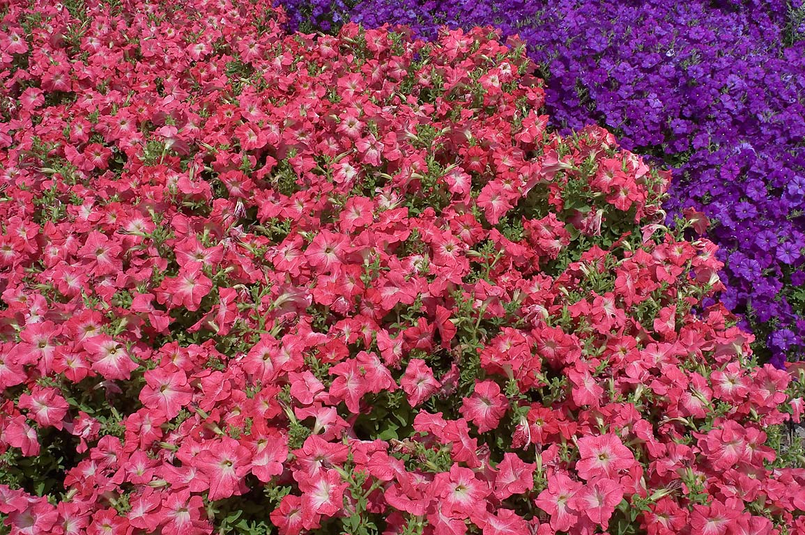 Red and violet petunia on flower beds in TAMU...M University. College Station, Texas