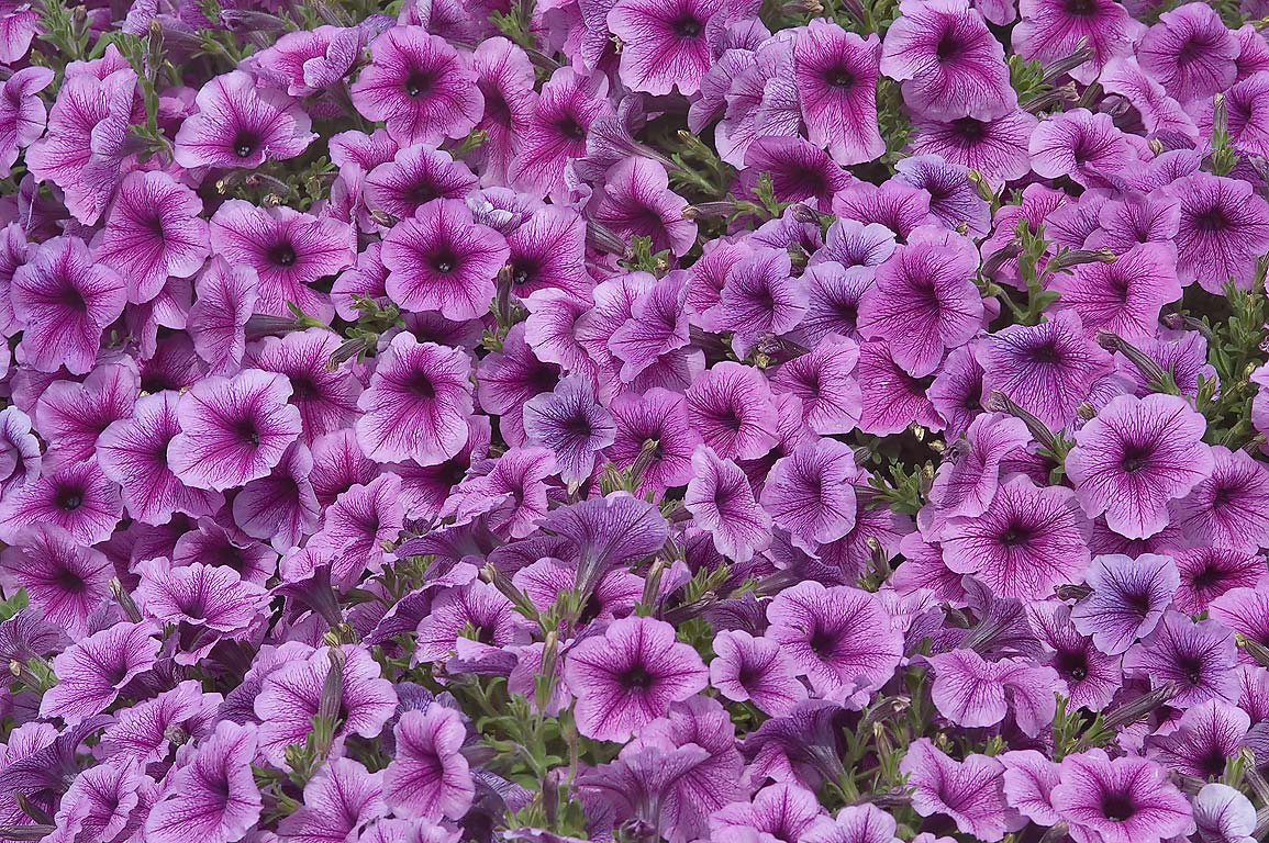 Violet veiny petunia in TAMU Horticultural...M University. College Station, Texas