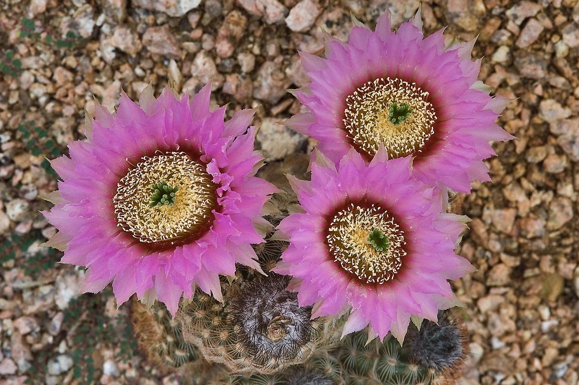 Blooming Lace cactus (Echinocereus reichenbachii...M University. College Station, Texas