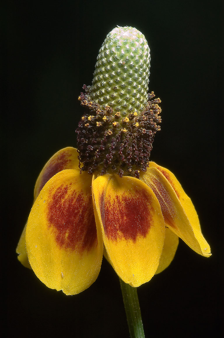 Yellow Mexican hat flower (Ratibida columnifera...M University. College Station, Texas