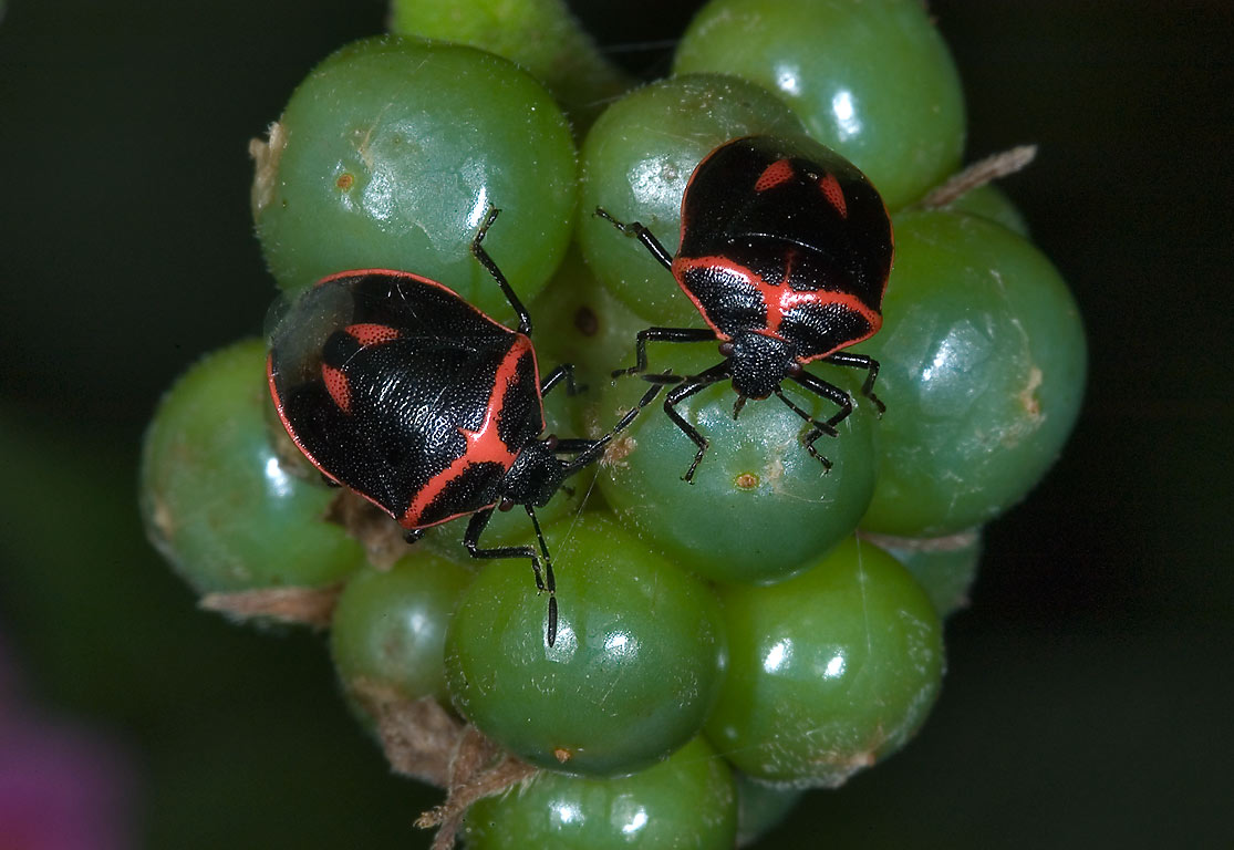 Twice-stabbed stink bugs (Cosmopepla lintneriana...M University. College Station, Texas