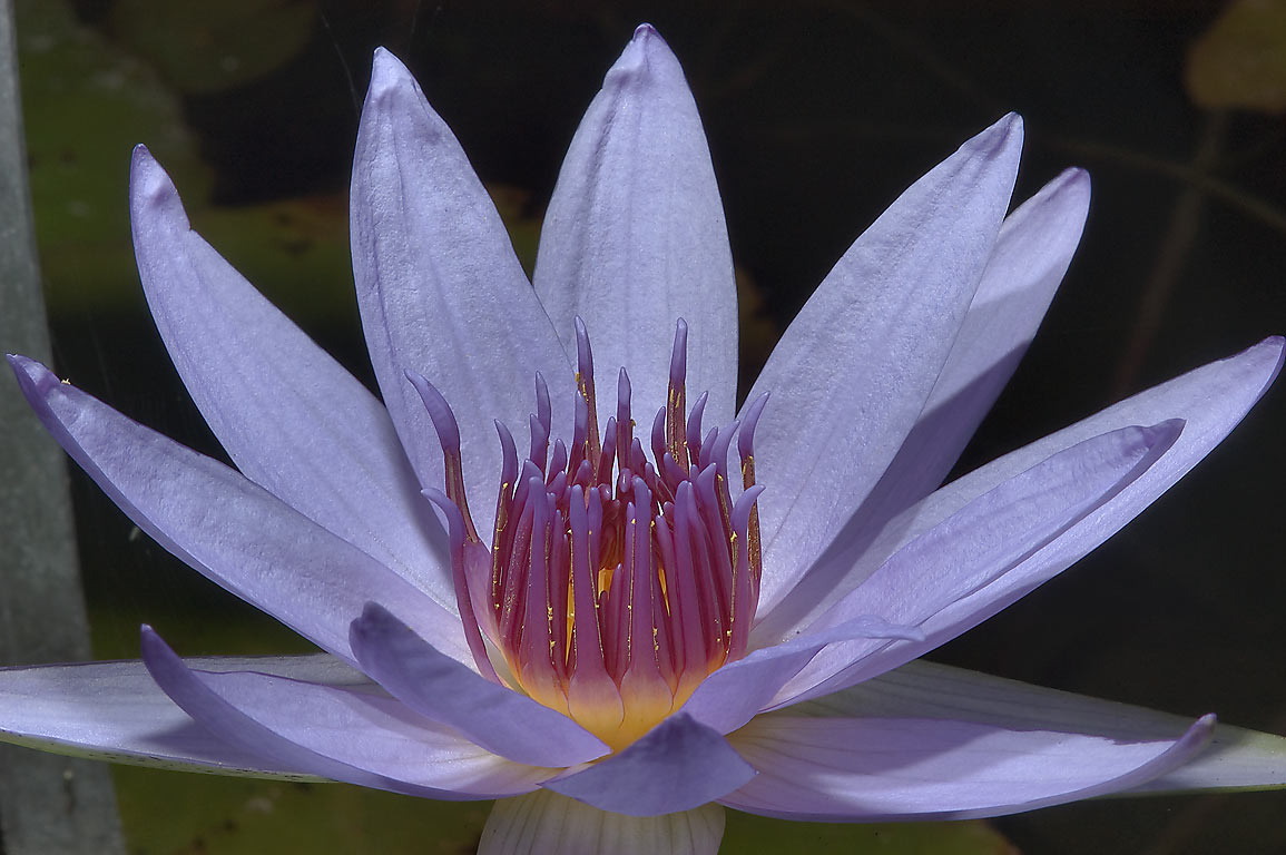 Water lily in Mercer Arboretum and Botanical Gardens. Humble (Houston area), Texas
