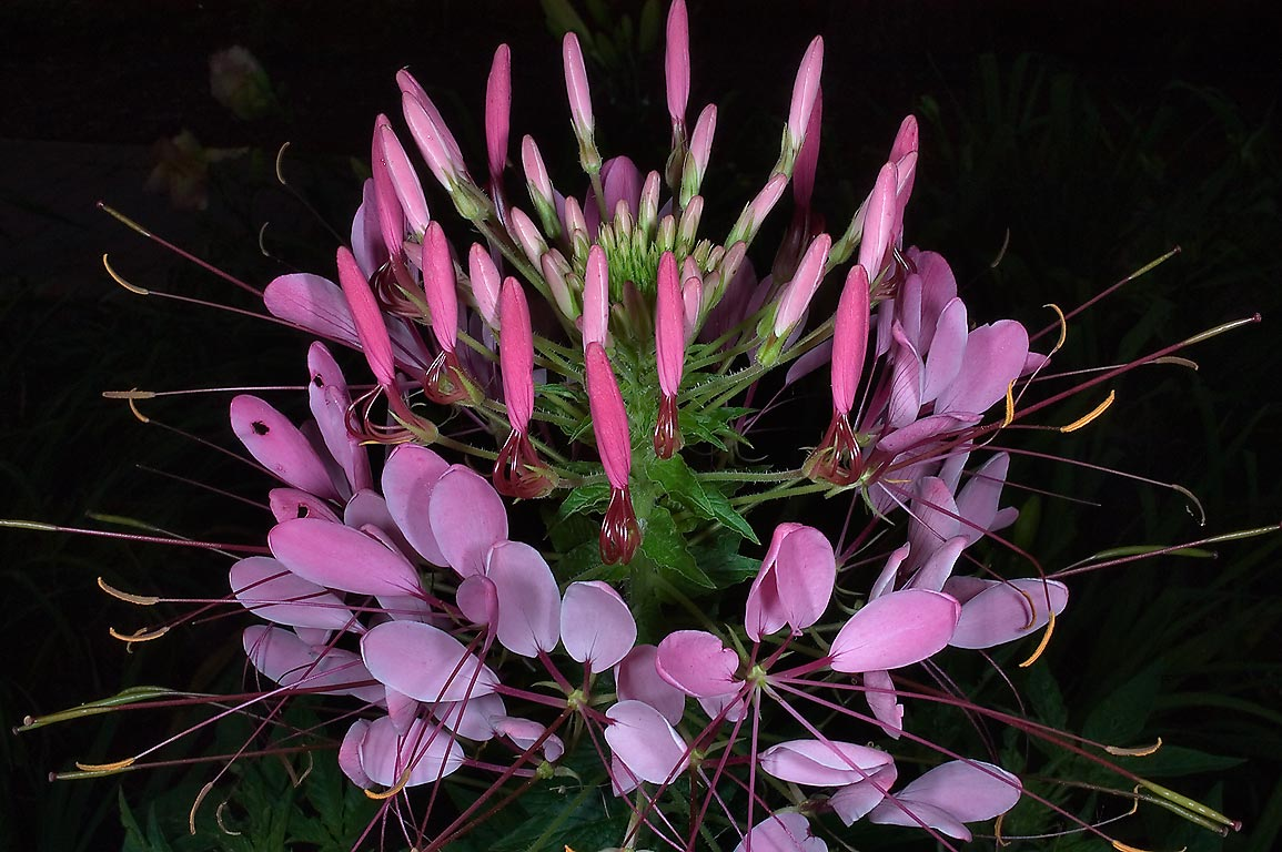 Spider flower (Cleome) in Mercer Arboretum and...Gardens. Humble (Houston area), Texas