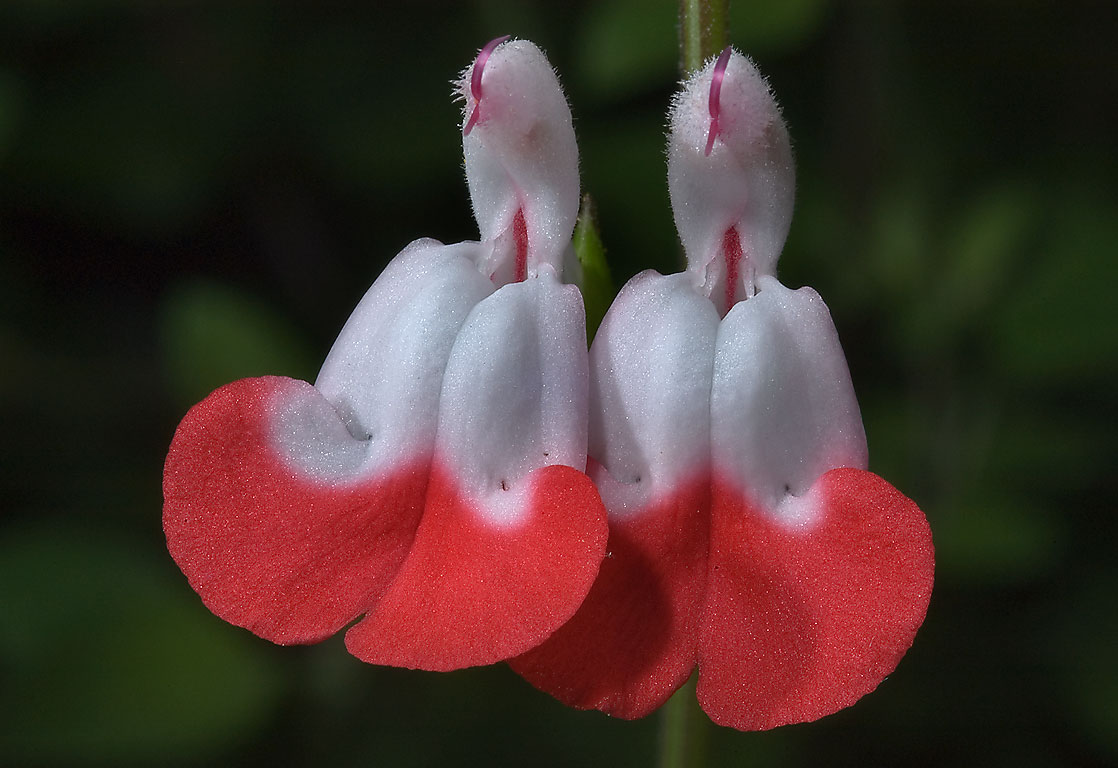 Hot lips sage (Salvia microphylla hot lips) in...Gardens. Humble (Houston area), Texas