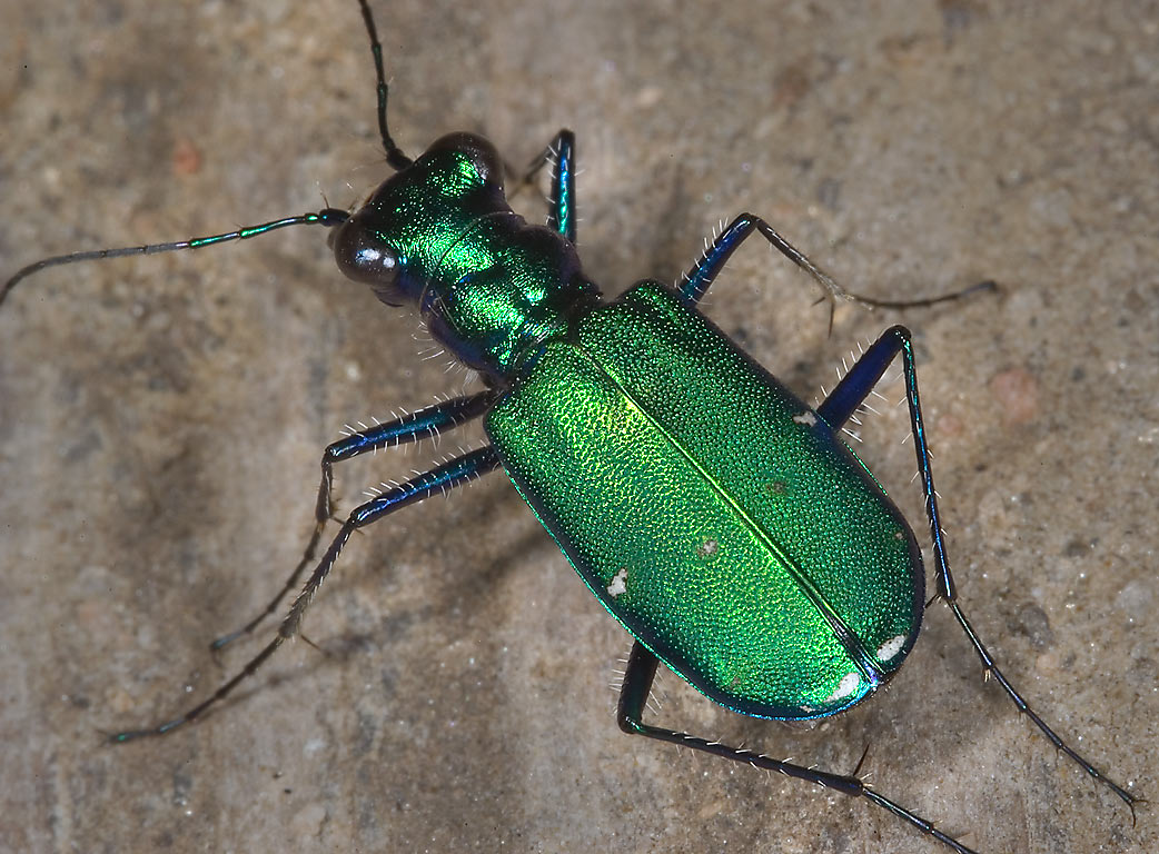 Green six-spotted tiger beetle (Cicindela...Gardens. Humble (Houston area), Texas