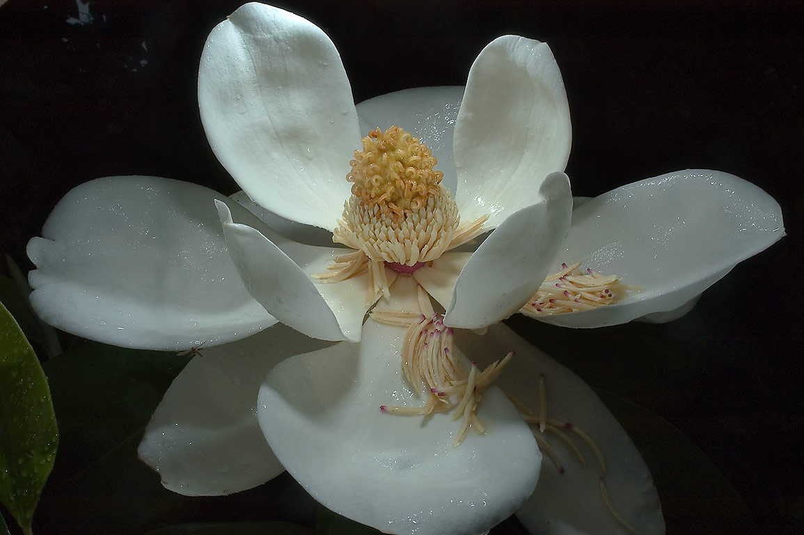 White Magnolia Flower Search In Pictures