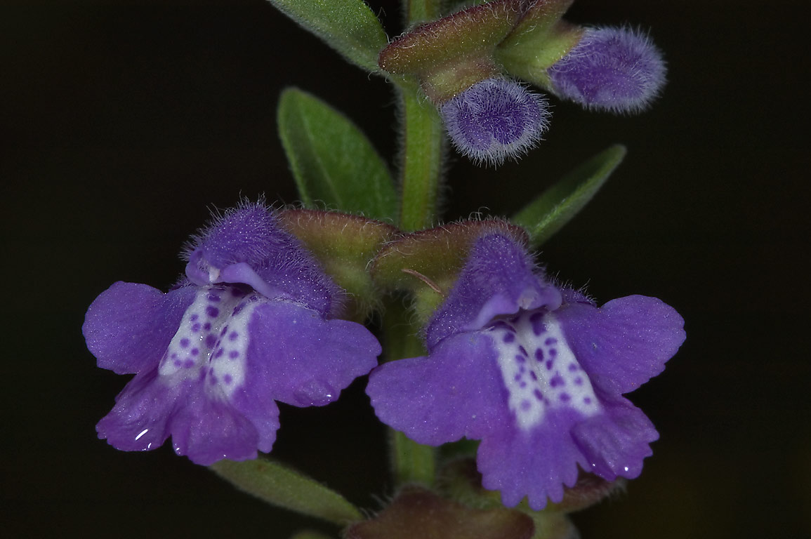 Skullcap (Scutellaria) flowers in Old Baylor Park in Independence. Texas