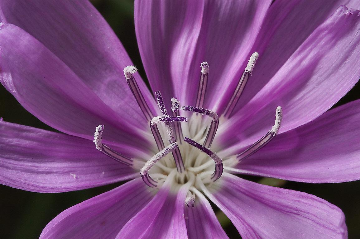 742 25 Back lit flower of Skeleton plant Lygodesmia Old Baylor Park