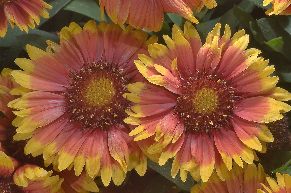 Firewheel (Indian blanket, Gaillardia pulchella...M University. College Station, Texas