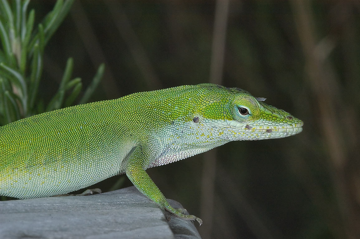 Green anole lizard (Anolis carolinensis) in TAMU...M University. College Station, Texas