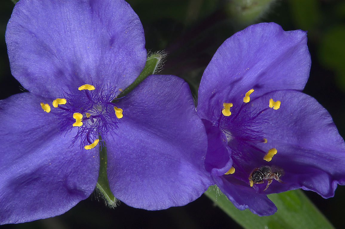 Blue spiderwort (tradescantia) in bloom in Lick Creek Park. College Station, Texas