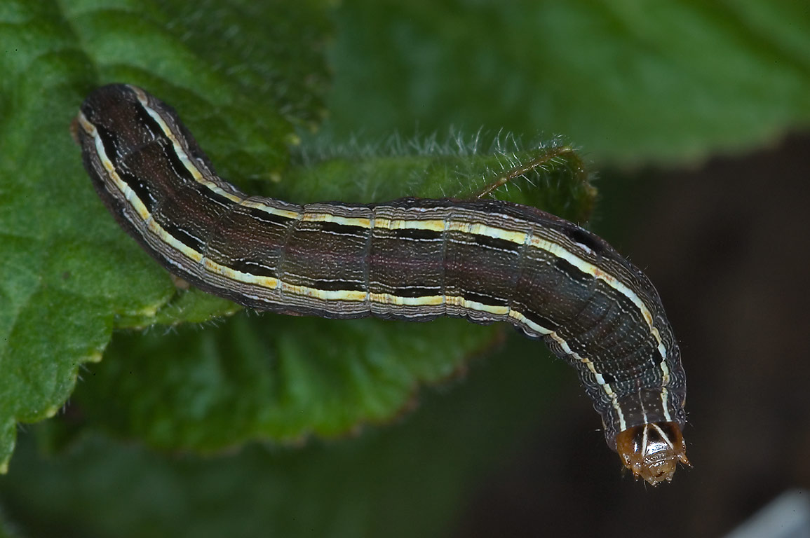 Yellowstriped armyworm caterpillar (Spodoptera...M University. College Station, Texas