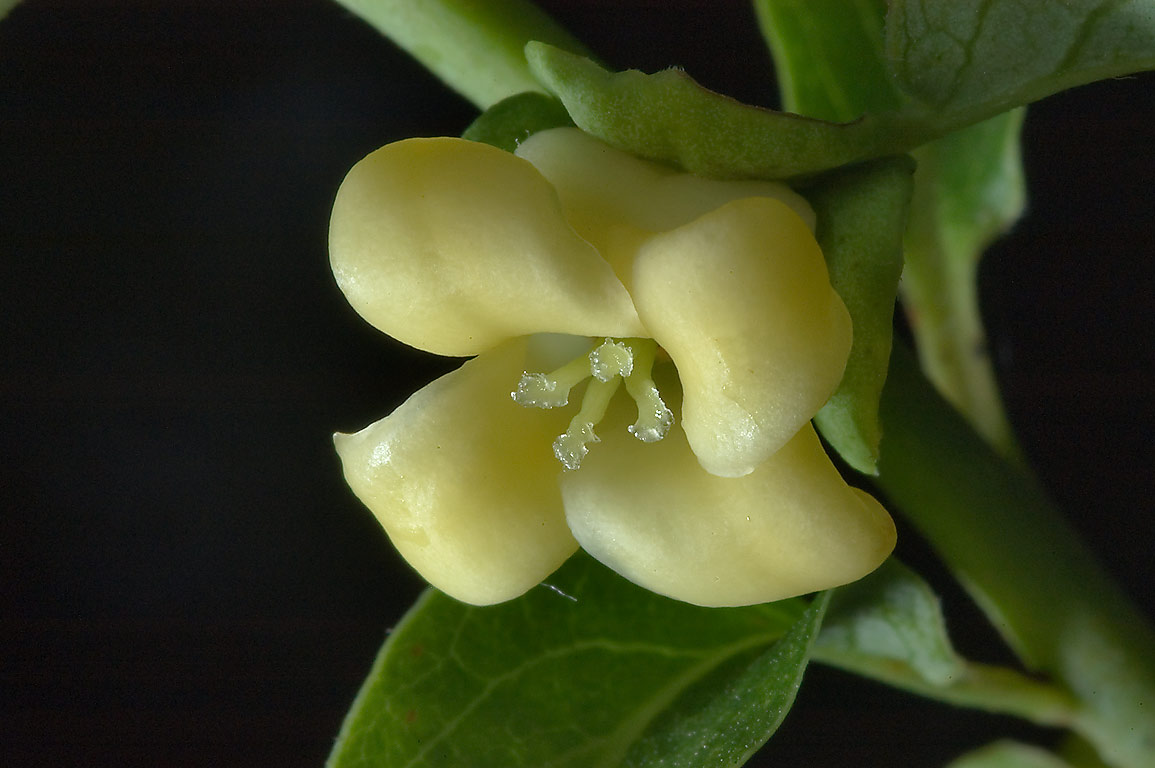 Greenish-yellow, bell-shaped flower of persimmon...State Historic Site. Washington, Texas