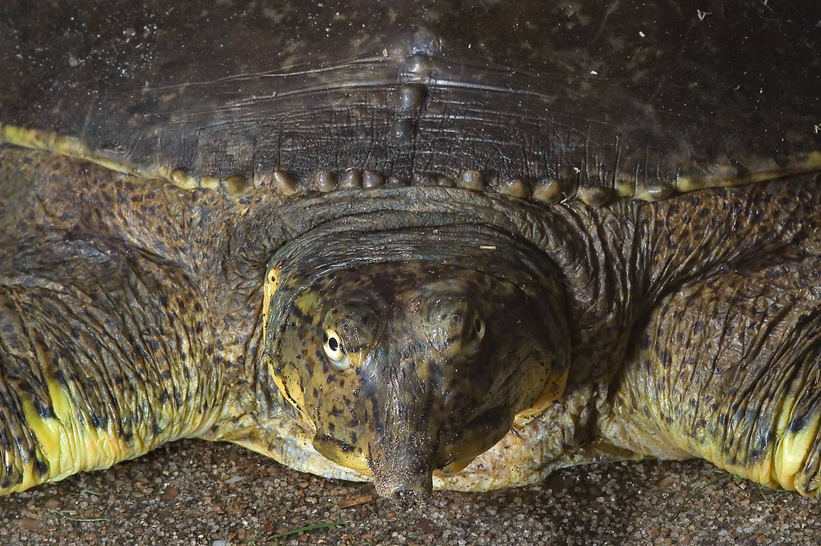 River turtle on a porch of apartments on George Bush Dr.. College Station, Texas
