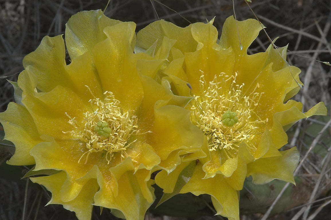 Yellow flowers of Prickly pear cactus (Opuntia...Wildflower Center. Austin, Texas
