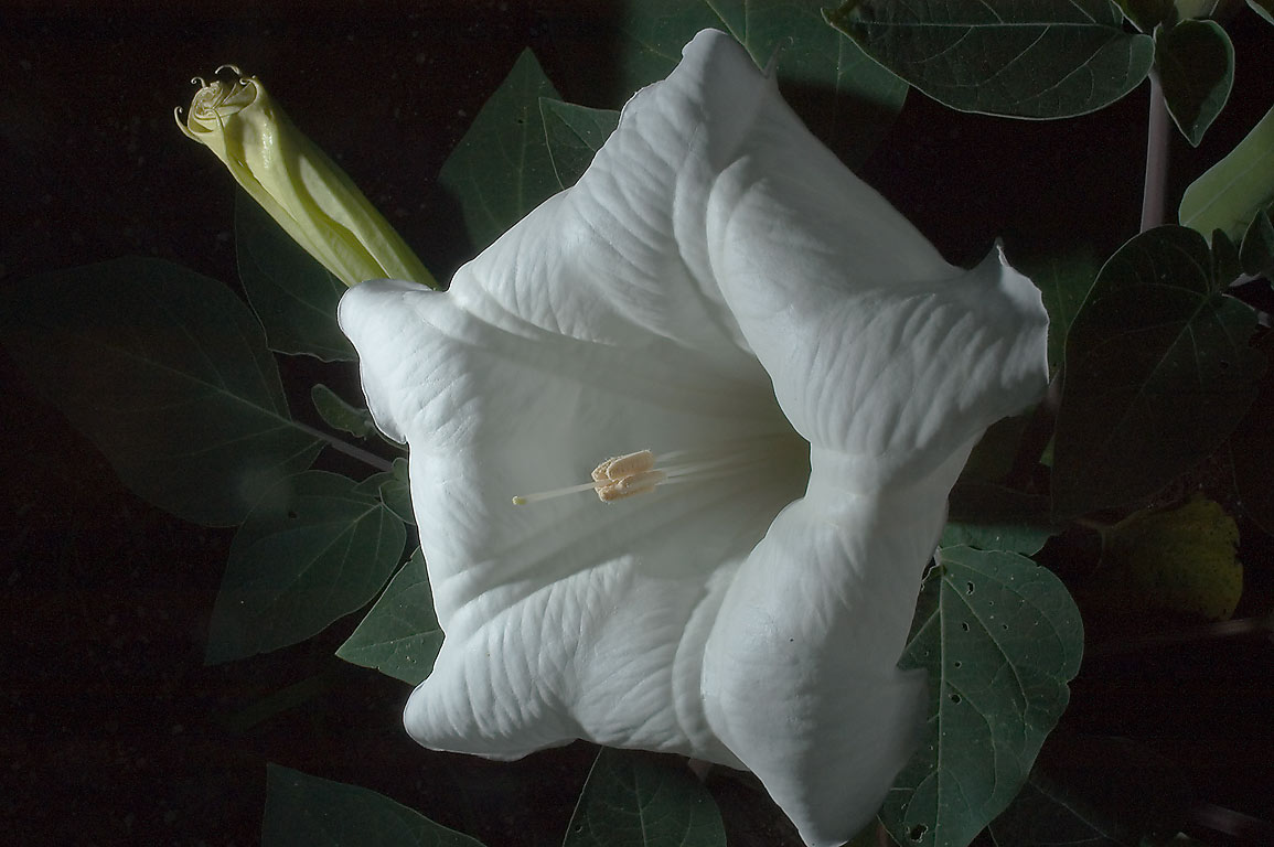 Large white flower of Jimsonweed (Datura) in TAMU...M University. College Station, Texas