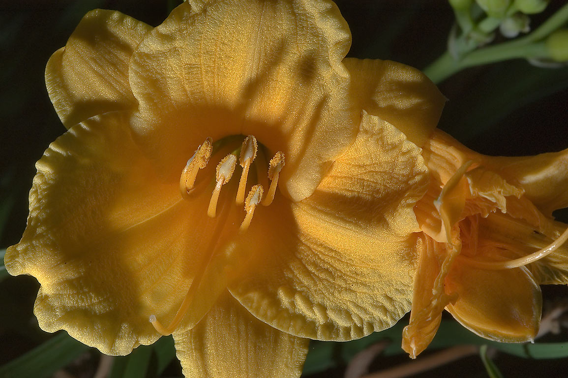 Yellow daylily (Hemerocallis) in TAMU...M University. College Station, Texas