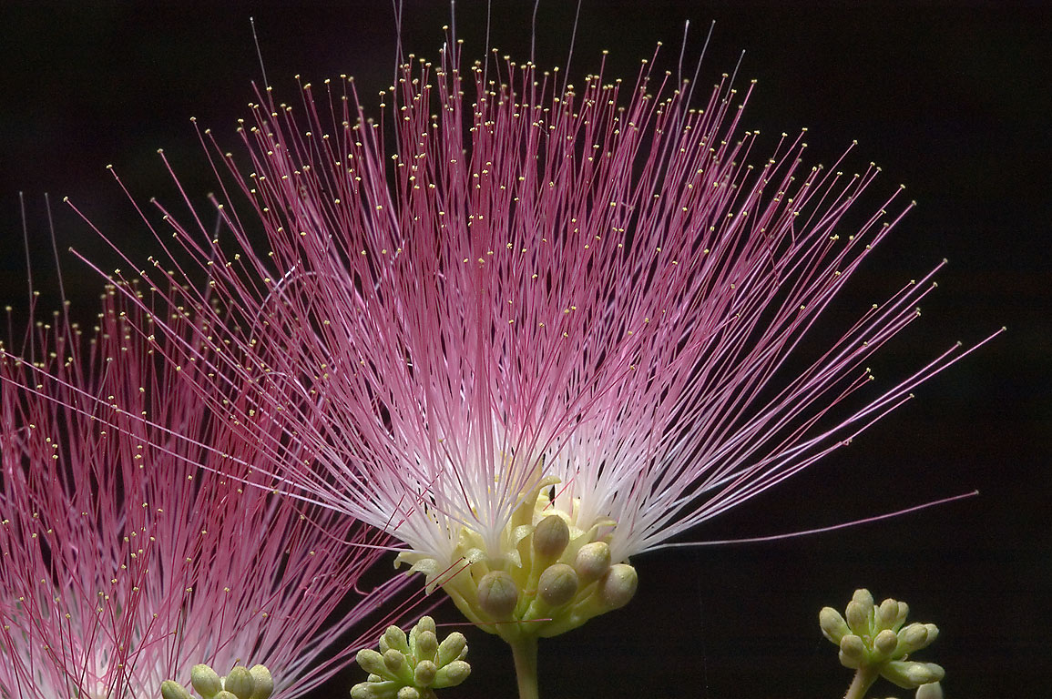 Flower of silk tree (Mimosa, Albizia julibrissin...M University. College Station, Texas